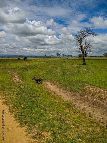 Fotomural Mikumi, Tanzania - December 6, 2019:  pumbaa known as a phacochoerus run through the green savanna
