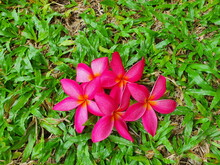 Pink Flowers With Yellow Stamens Of Frangipani Or Plumeria Flowers Fall On A Green Lawn. The Brightly Colored Flowers Belong To The Family Apocynaceae. They Are Fragrant And Can Be Grown In Gardens.