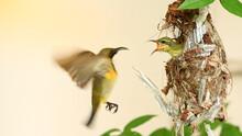 Sunbird And Baby Bird In A Nes...