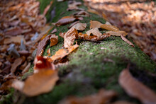Autumn Leaves On A Log Covered With Moss