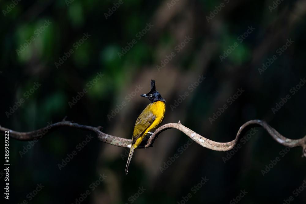 Fototapeta Black - crested Bulbul