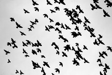 A Flock Of Pigeons Is Flying H...