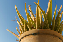 Upper Part Of An Aloe Vera, Plant With Thick, Pointed Leaves With Spikes, Background Is Blue Sky