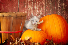 Kitten Helping Out With Pumkins And  Fall Decorations