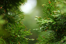 Eastern White Cedar Green Bright Wet Branches. Rain Droplets. Fresh. Bokeh On Background. Natural Backdrop. October.