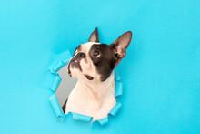 A Boston Terrier Dog Climbs Ou...