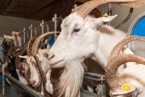 eco goat farm Wallpaper Mural