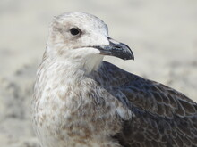 Close Up Of A Seagull