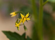 Yellow Tomato Flower In Nature...