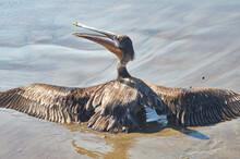 Pelicano En Guayabitos
