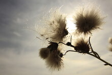 A Bloomed Thistle Flowers In A...