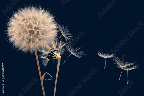 Fototapeta dandelion seeds fly from a flower on a dark blue background. botany and bloom growth propagation. obraz