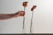 A Human Hand Holding Dry Rose ...
