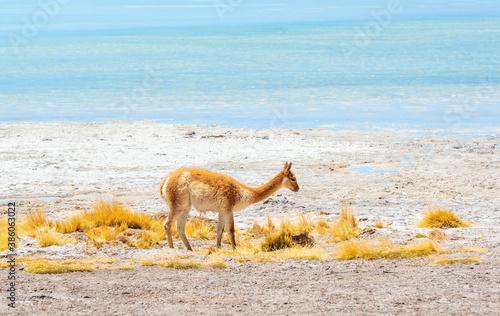 Naklejka premium Portrait of a vicuna (Vicugna vicugna) by the Chalviri lagoon, Uyuni salt flat desert, Bolivia.