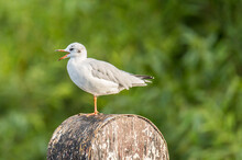Seagull On A Log
