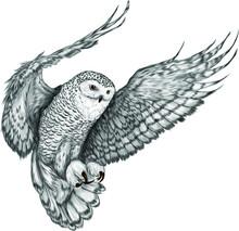 Owl In Flight Northern Black W...