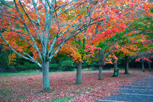 Maple Tree Leaves Changing Int...