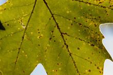 Backlit Green Leaf With Orange...