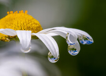 White Flower Petals Have Crystal Clear Rain Drop With Reflection Of Nature