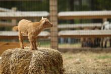 Lovely Baby Goat On Farm