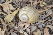 Channeled Applesnail On The Ground - Pomacea Canaliculata
