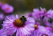 Autumn Asters. Flowers Swaying...