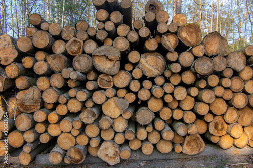 Cutting of the trees, bark beetle calamity, conifer tree logs on pile in woodlan Fototapet