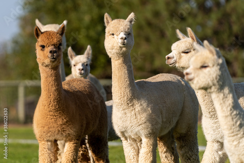 Fototapeta Alpacas on a farm in Oregon