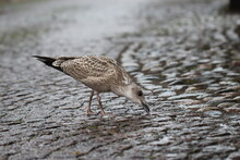 Close-up Of A Sea Gull Chick In The Rain On A Paving Stone