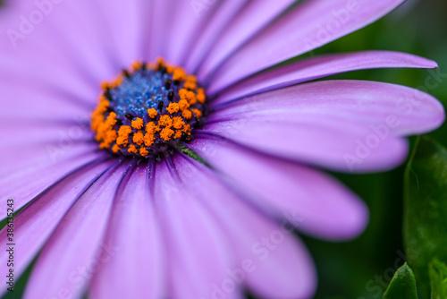 Violett lila Gerbera mit orange blauer Mitte