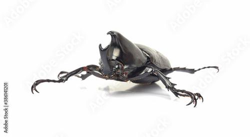 Fotografia Scarab beetle in closeup isolated on white background, Xylotrupes Gideon Linneau