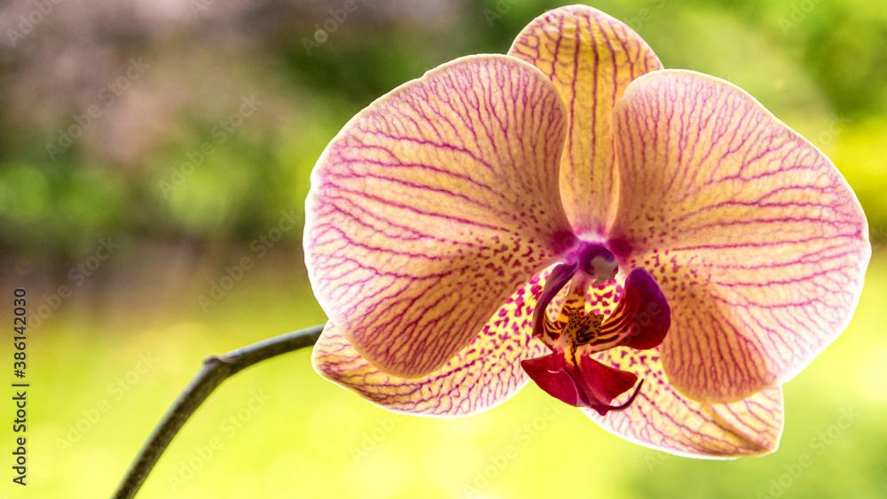 Obraz Storczyki odmiany falenopsis, to najpopularniejszy storczyk doniczkowy. fototapeta, plakat