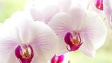 Storczyki odmiany falenopsis, to najpopularniejszy storczyk doniczkowy.