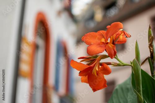 Cuadros en Lienzo Endingen Baden-Württemberg Blumen unscharfer Hintergrund