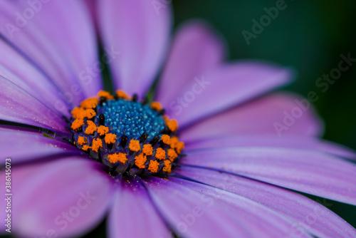 Violett, lila Gerbera mit gelb blauer Mitte