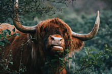 Scottish Highland Eating Cow With Horns Close Up