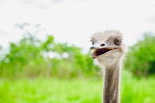 Ostrich Bird Head And Neck Fro...