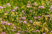 Crown Vetch, Securigera Varia, Coronilla Varia, Or Purple Crown Vetch Flower