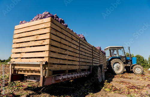 Obraz Tractor at the field harvesting of beet roots - fototapety do salonu