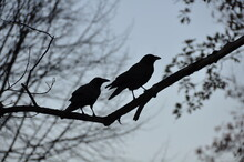Two Blackbird Silhouette