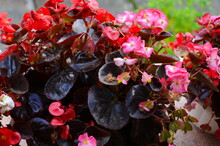 Numerous Bright Flowers Of Tub...