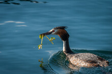 Great Crested Grebe Building A...