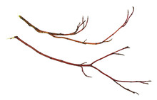 Set Of Dry  Red Twigs