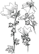 Vector Mallow Inflorescences Drawn With Black Ink. Sketch.