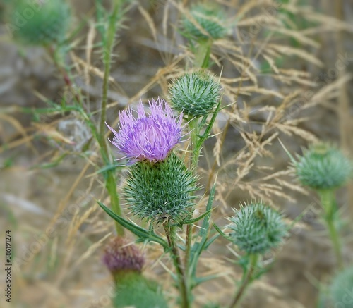 Fototapeta roślina,fiolet, oset obraz