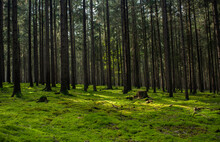 Bosques De Pino Del Centro De ...