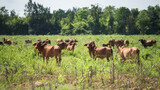 Group of cows stand and graze at local farm