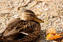 Closeup Of A Female Duck Resti...