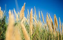 Yellow Wild Wheat Heads Growin...