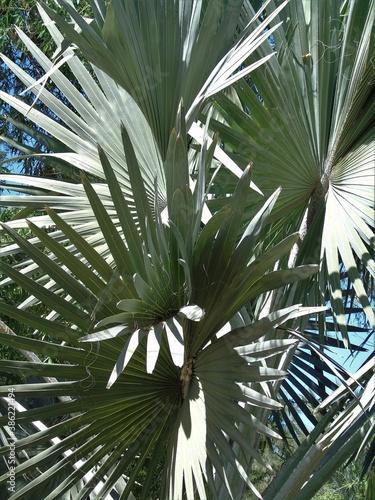 Canvas Print bismarck palm tree